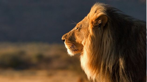 Lion Photo دانلود والپیپر شیر